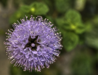 Resultado de imagen de foto flor de menta